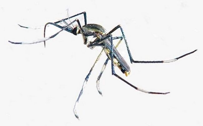Toxorhynchites - один з небагатьох, хто не кровосисних комарів