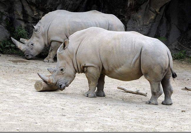 Помер останній білий носоріг