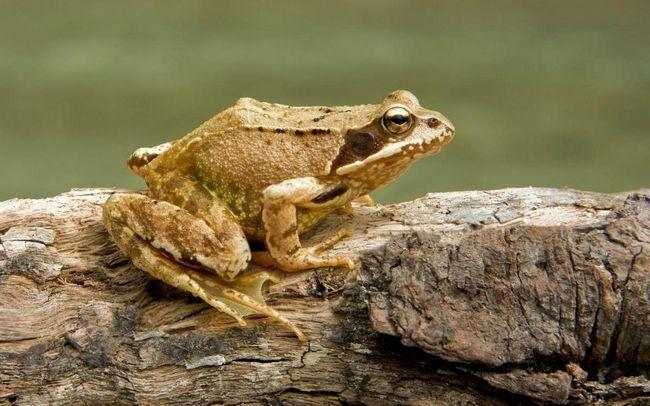 Трав`яна жаба: опис, фото і відео земноводного