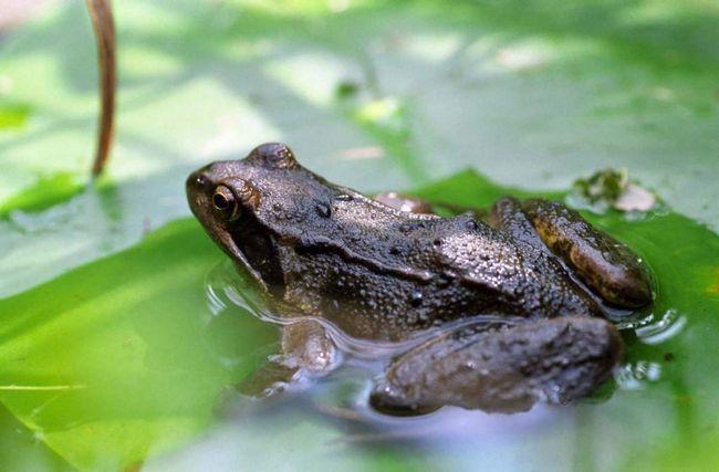 Трав`яна жаба одна з найпоширеніших в Європі.