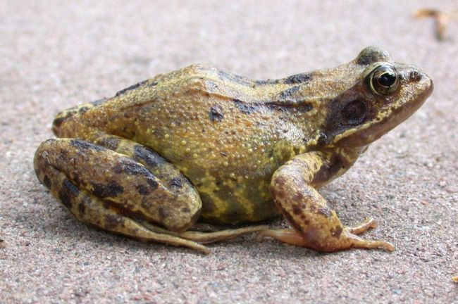 У самців в шлюбний період забарвлення тіла стає більш світлим, горло набуває блакитного кольору.