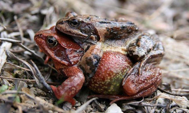 Пуголовки трав`яних жаб травоїдні, проте деякі можуть вживати дрібних тварин.