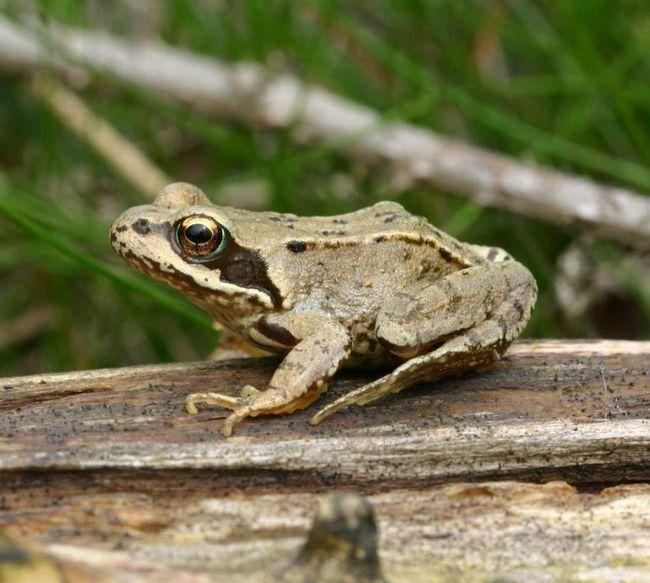 Трав`яні жаби нерестяться в водоймах.