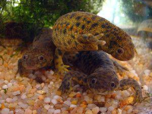 Тритони в акваріумі