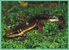 Трітонзеленоватий / dicmictylus viridescens