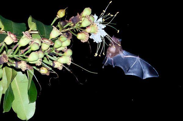 Длінноязикій листоносов годується.