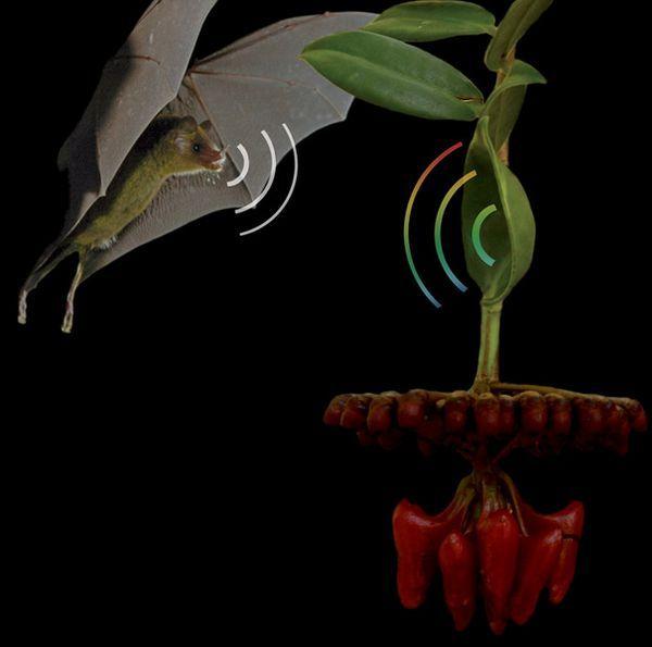 Летюча миша і ліана Marcgravia evenia (ілюстрація авторів дослідження).