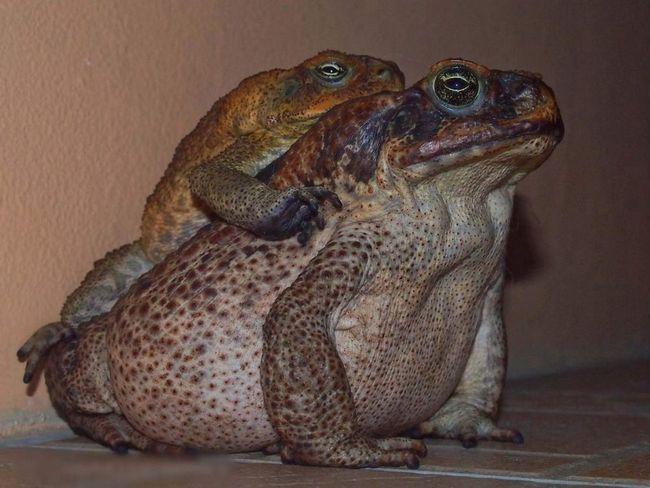 Дорослі жаби-аги не піклуються про потомство.