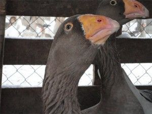 Тульська порода гусей