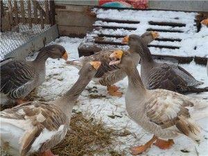 Тульська порода гусей фото