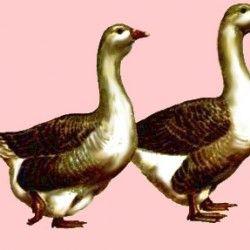 Тулузькі гуси