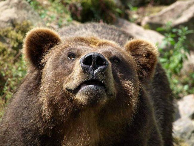 На Камчатці ведмедиця напала на табір туристів.