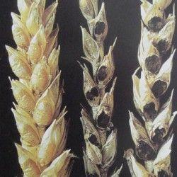 Тверда сажка пшениці