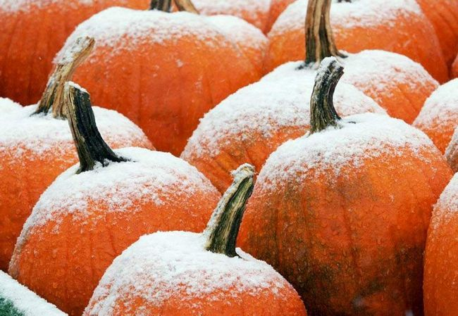 Гарбузи у візку на фермі Хенсон занесло раннім осіннім снігом в Фрамінгеме, штат Массачусетс, 16 жовтня. (Bill Sikes, AP)