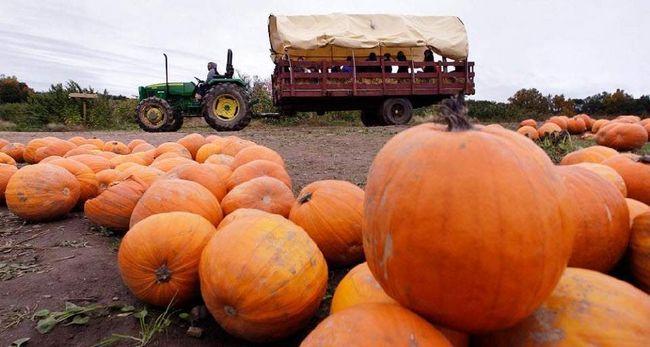 Трактор везе візок з дітьми по гарбузовому полю на фермі Смолак в Північному Андовере, штат Массачусетс, 15 жовтня. (Charles Krupa, AP)