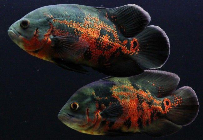 Рибка астронотус глазчатий.