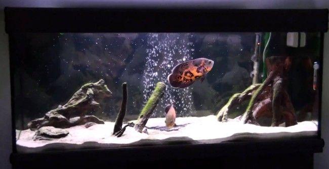 Астронотус глазчатий в акваріумі.