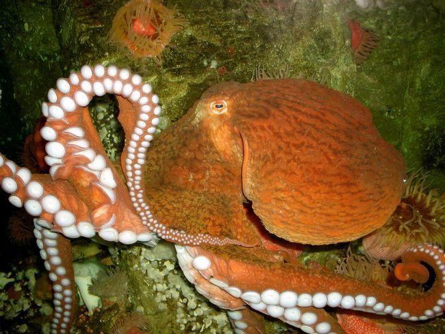гігантський восьминіг (Octopus dofleini)