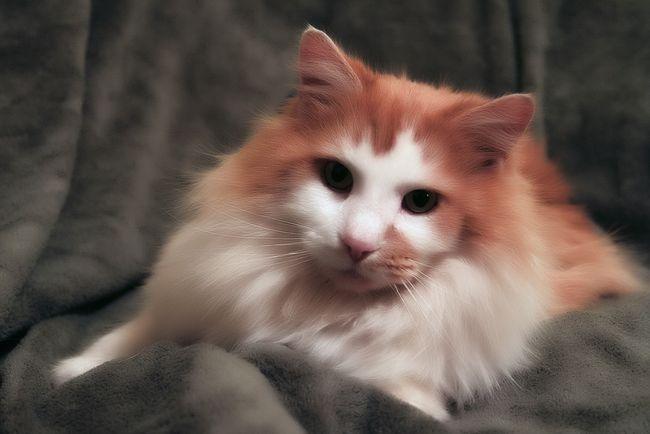 У кішки випадає шерсть жмутами: що робити?