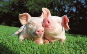 Розведення свиней як бізнес
