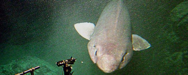 Дрібнозуба акула з`явилася біля берегів Шотландії.