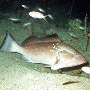 Epinephelus Morio - один з найбільш економічно важливих видів рифових риб на південному сході Сполучених Штатів, і особливо в Мексиканській затоці. Зазвичай вони живуть на глибині 100-150 метрів (фото Florida State University Coastal and Marine Laboratory).