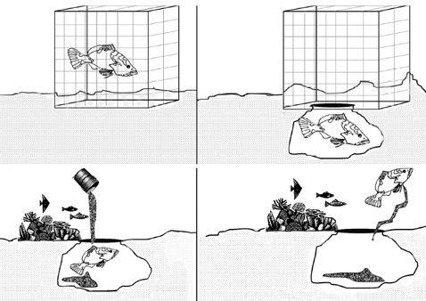 Обмеживши кліткою руху риби в ході експерименту вчені безперешкодно могли спостерігати весь процес її архітектурної роботи (ілюстрація Felicia C. Coleman et al./ Florida State University Coastal and Marine Laboratory).