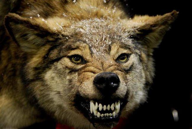 Хижі тварини можуть загинути через втрату зубів.