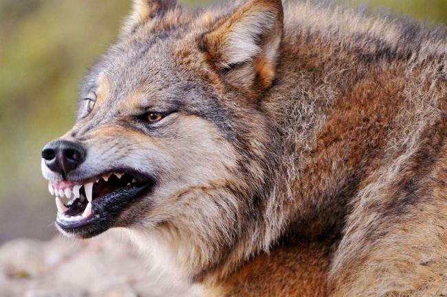 Деякі з тварин змушені переходити на незвичну для їх виду їжу.