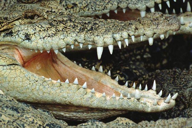 Зуби крокодила зростають у міру сточування.