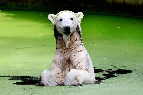 У знаменитого білого ведмедя в Німеччині на прізвисько Кнут з`явилася подруга з Італії.