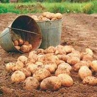 Прибирання картоплі