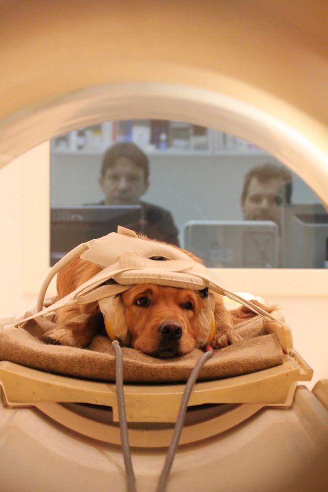 Дослідження мозку собак можуть допомогти краще зрозуміти наш власний мозок.