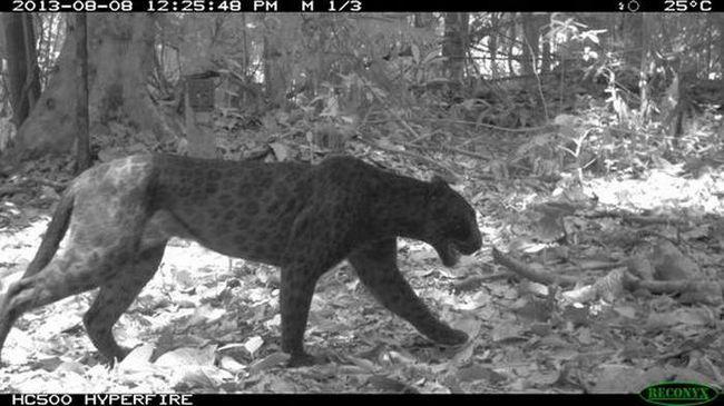На камері з інфрачервоним датчиком плями леопарда видно набагато чіткіше.