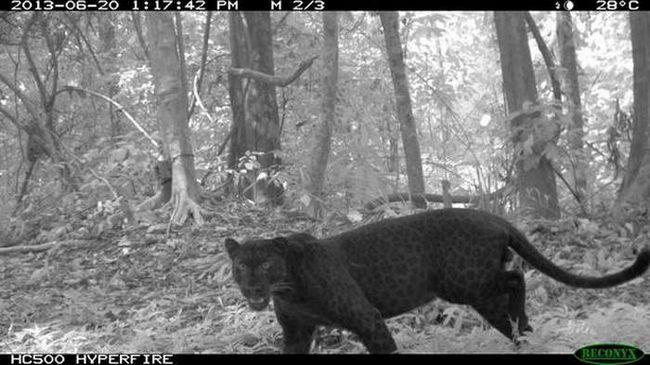 Чорний леопард потрапив в об`єктив інфрачервоної камери.