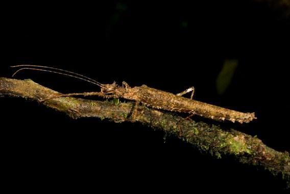 Паличник з роду Xylospinodes, один з 4 нових видів, знайдених в Еквадорі