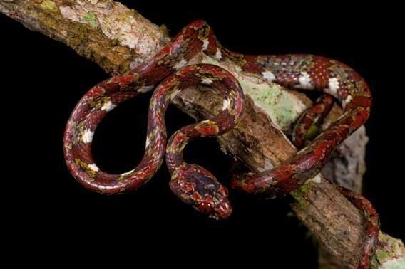 Змія з роду Sibon, що харчується равликами