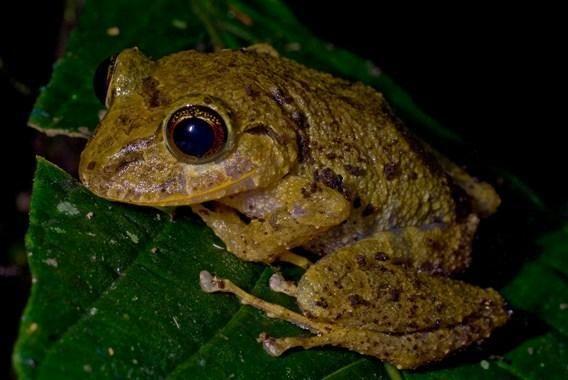 Невідома науці жаба з роду Pristimantis