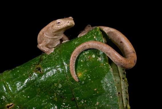 Саламанда з роду Bolitoglossa, позбавлена легких і дихаюча через шкіру