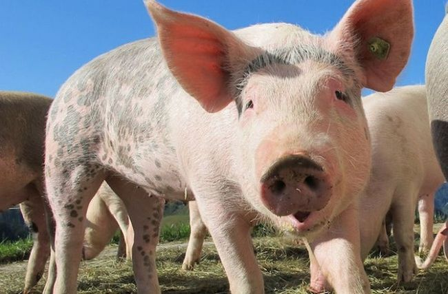 Вчені виявили, що свині розумнішими собак
