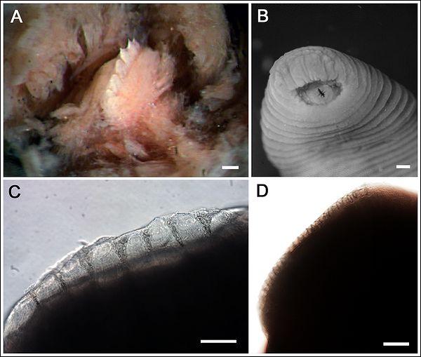 А - страхітливі зуби п`явки Tyrannobdella rex