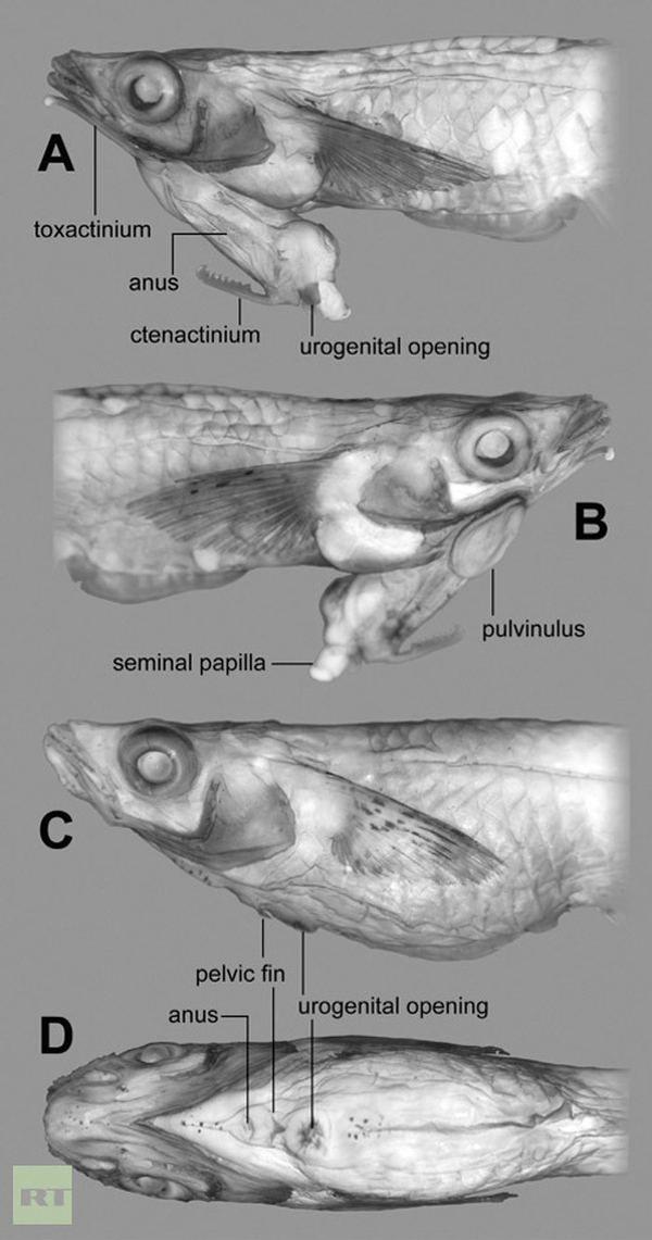 Вчені виявили рибу з пенісом на голові
