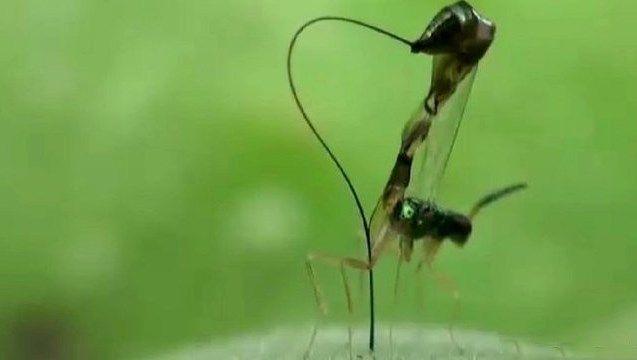 Вчені розгледіли у ос-паразитів крихітну цинкову пилу