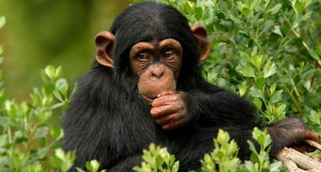 У шимпанзе з`явилася релігія.