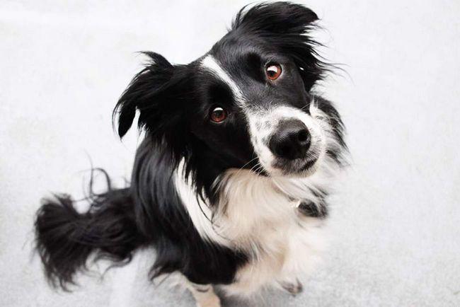 Собаки вміють розпізнавати обличчя.