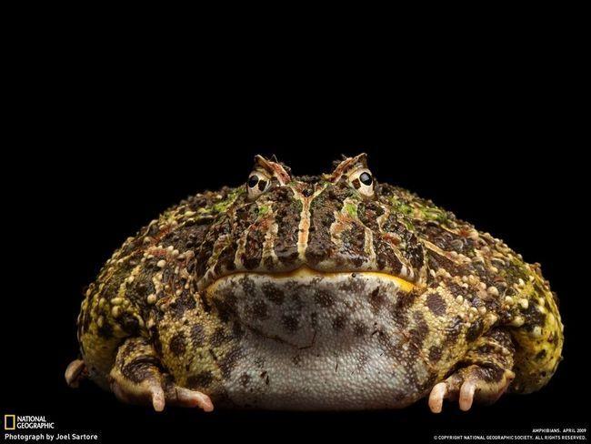 Одна з найбільших в світі жаб, та до того ж ще й отруйна - Bufo marinus, або просто ага