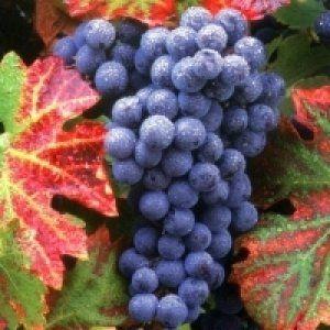 Вчимося пересаджувати виноград восени: практичні поради