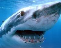 Вчені-іхтіологи розкрили особливості нападу акул