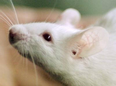 Вчені виявили у мишей ген відповідає одночасно за колір і розум