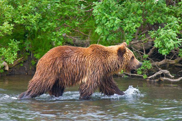 Зголоднілі ведмеді нерідко здійснюють набіги на міські смітники. (Фото Jenny E. Ross / Corbis.)